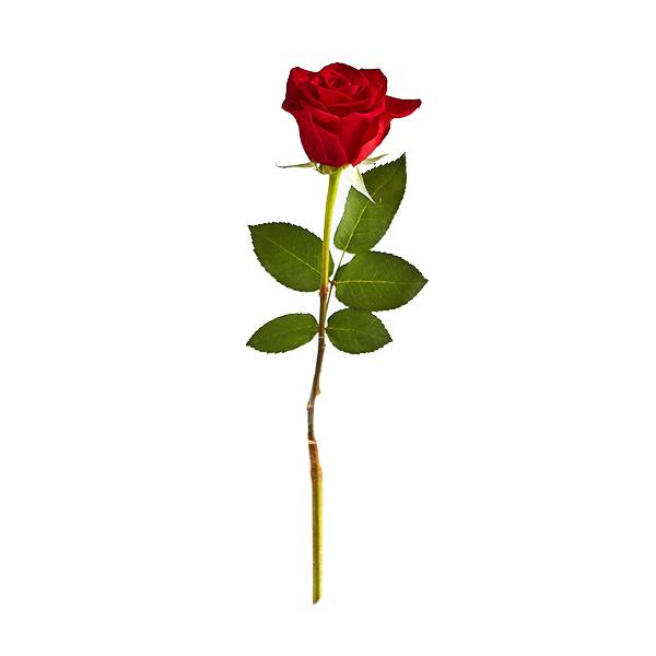Madam-Red-Rose